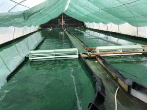 les bassins de culture de spiruline